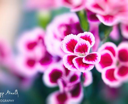 Pinke Schönheit