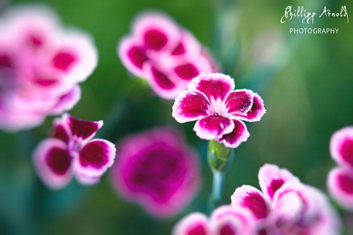 Pinke Schönheit 2